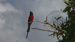 A carmine bee eater perching on a branch Footage