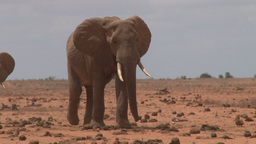 A bull elephant walking through the heat to a waterhole Footage