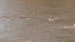 A crocodile hunting in the river gets a baby zebra Footage
