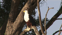 A fish eagle eating a fish Footage
