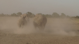 Two white rhinos fighting in a dusty park Footage