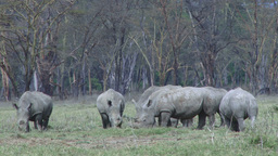 A group of white rhinos in the park Footage
