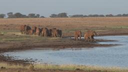 A herd of elephannts arrive in a waterhole Footage