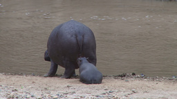 A hippo mother leads the baby to the river Footage