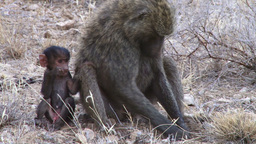 A baboon mother digs for roots with her baby on her side Footage