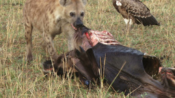 A hyena pulling a kill away from vultures Footage