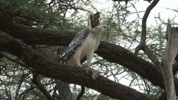 A juvenile martial eagle with a kill of dik dik Footage