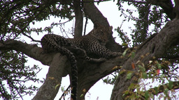 A leopard resting in a shade on a tree Footage