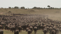 A big group of wildebeests migrating using the road Footage
