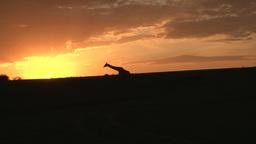A giraffe walks across the camera in the setting sun Footage