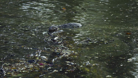 Clouded monitor lizard swimming in the lake Footage