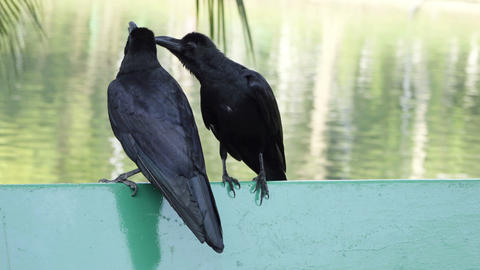 two black ravens sitting togeter Footage