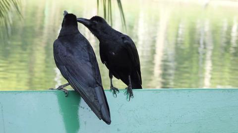 two black ravens sitting togeter Footage