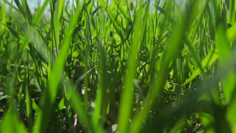 Green juicy grass is growing in the meadow. Close-up GIF