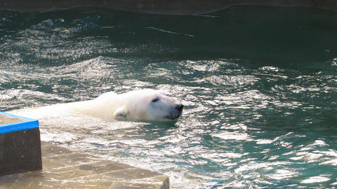 Polar bear playing in water Footage