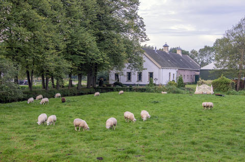 Pregnant Sheep In Front Of A Old Farmhouse At Duivendrecht The Netherlands 2018 Fotografía