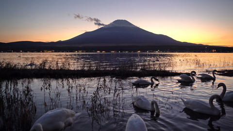 White swans with reflection of Fuji Mountain at lake Yamanaka at sunset. Footage