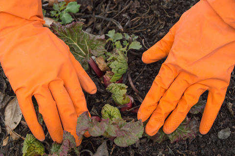 Hands in orange gloves caring for young rhubarb in the garden, soil background フォト
