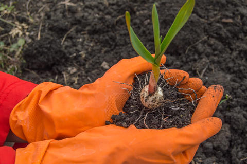 Young plant garlic in the hands of an agronomist wearing gloves. The concept of フォト