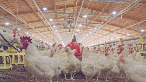 Close up of chickens in a large scale chicken farm Live Action