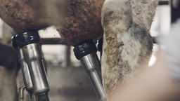 Close up on a worker milking cows on a dairy farm Live Action