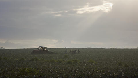 silhouette of farm workers during early morning broccoli harvest in a field GIF