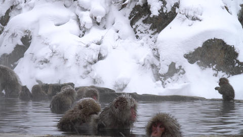Monkey rest in the hot spring Live Action