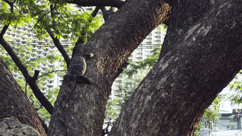 video of a monitor lizard climbing the tree Footage