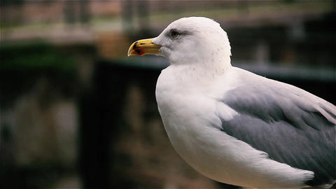 Seagull In Rome, Close Up GIF