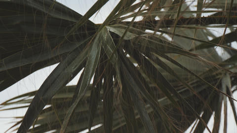 Rain drops fall down and wash fan palm leaf during summer storm. Slow motion Footage