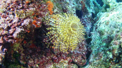 Underwater anemone spirograph in a reef - Scuba diving in Majorca Footage