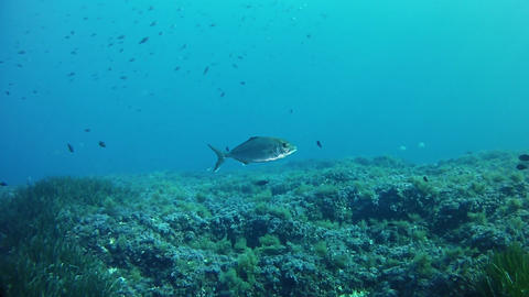 Underwater scene - Alone jack fish swimming in a reef Footage