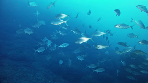 Jack fishes school in the Mediterranean sea - Marine life Live Action
