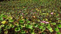 Pink Lotus flower Footage