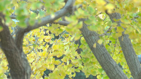 4K Gingko leaves swaying in the wind Live Action
