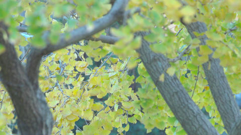 4K Gingko leaves swaying in the wind Footage