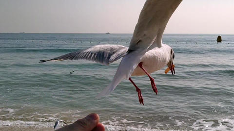 The seagull trying to eat a saeukkang snack 영상물