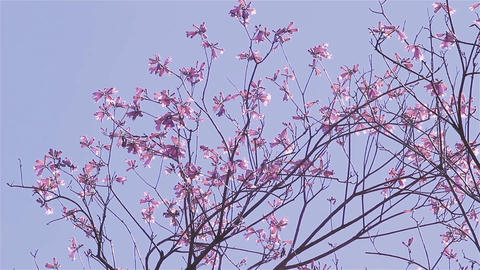 Lapacho Flower Tree In Full Bloom. Lapacho Is The National Tree Of Paraguay GIF