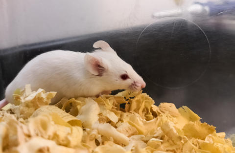 White laboratory mouse for medical tests Photo