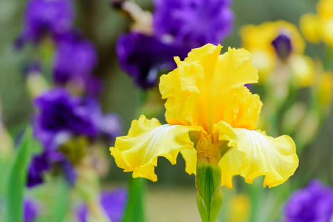 Yellow beautiful iris flowers in the morning garden Fotografía