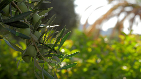 Olive tree branch against green garden Footage
