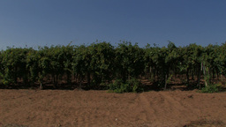 Rows Of Grape Vines In The Wind stock footage