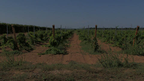 Rows of small grape vines Footage