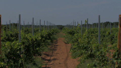 Rows of small grape vines Stock Video Footage