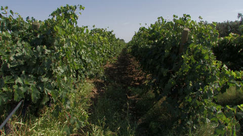 Rows of organic grape vines Stock Video Footage