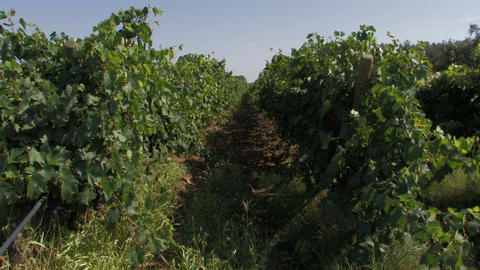 Rows of organic grape vines Footage