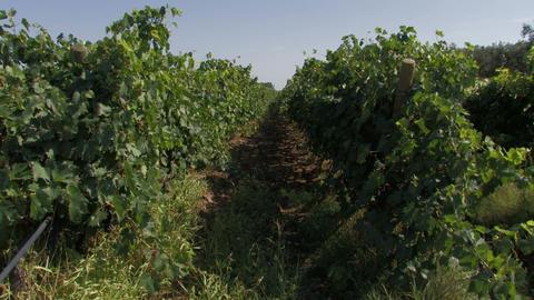 Rows of organic grape vines Stock Video Footage