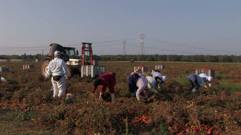 Women workers collecting tomatoes Stock Video Footage