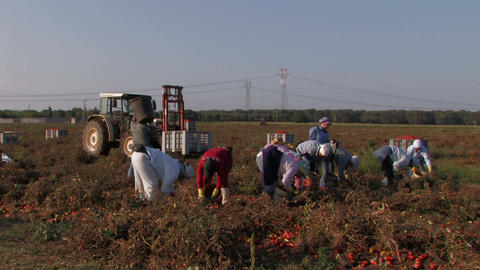 Women workers collecting tomatoes Footage