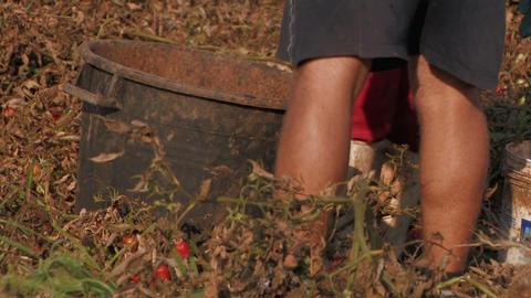 Workers harvesting tomatoes Stock Video Footage
